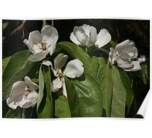 Quince Blossom Poster