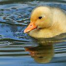 Duckling by Mark Hughes