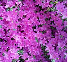 Purple Azalea flowers by Vanella Mead