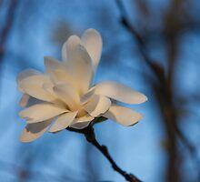 Creamy, Dreamy Wild Magnolia in the Forest by Georgia Mizuleva