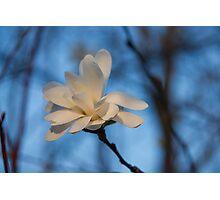 Creamy, Dreamy Wild Magnolia in the Forest Photographic Print