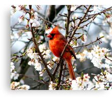 Cardinal In The Apple Blossoms Canvas Print