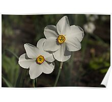 A Pair of Fragrant Poet's Daffodils, Celebrating Spring Poster