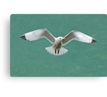 Kittiwake Canvas Print