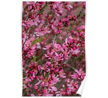 Prunus Tree Poster