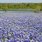 Texas bluebonnets by Kate Farkas