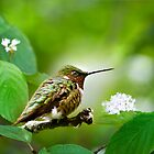 Male Ruby-throated Hummingbird at Rest by Christina Rollo