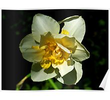 White and Yellow Daffodil Poster