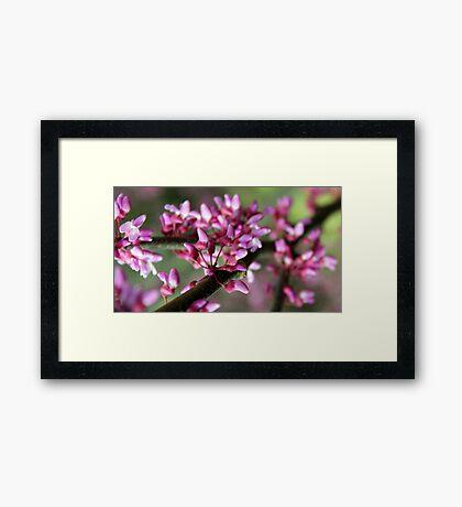 Redbud Blossoms Framed Print