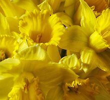 Ode to the Daffodil... by Leanne Stewart