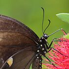 Black Swallowtail Portrait by Bob Hardy