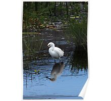 Snowy Egret Among Reeds Poster
