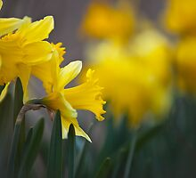 Spring Daffodils by Dave Cowell