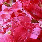 Hydrangea Macro by Stephen Thomas