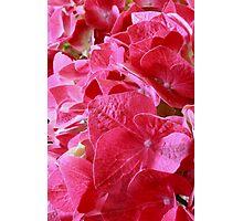 Hydrangea Macro Photographic Print