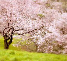 Spring Cherry by Jessica Jenney