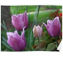 Fringed Tulips Poster