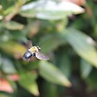 Carpenter Bee in flight by Sheryl Hopkins
