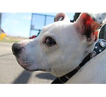 Buster t. Staffy Photographic Print