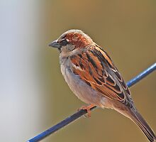Bird On A Wire ! by pmarella