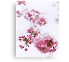 Closeup of pink cherry blossom art photo print Canvas Print
