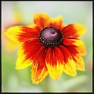 Rudbeckia by Liz Scott