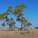 The Tree and the Barn, Cape Jaffa, South Australia by Margaret  Hyde