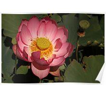 Pink Lotus at the Blue Water Garden (AUS) Poster