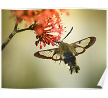 Bee Hawkmoth Poster