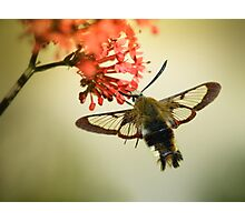 Bee Hawkmoth Photographic Print