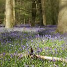 Bere Forest Bluebells by Matthew Folley
