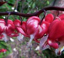 Bleeding Heart  by Caroline Anderson