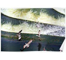 Seabirds over River Avon  Poster
