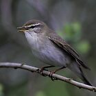 Willow Warbler(Phylloscopus trochilus) by webbo
