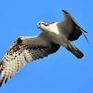 Osprey, one of my favorite birds by imagetj