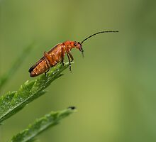 common red soldier beetle by hanspeters