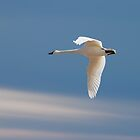Single Swan In Flight by Thomas Young