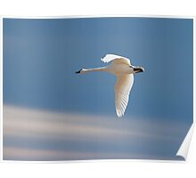 Single Swan In Flight Poster