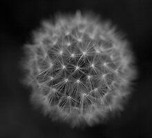 Dandelion Clock by Katja Heber