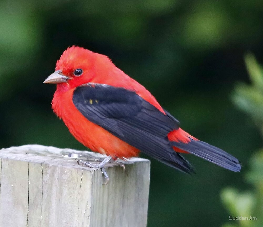 Scarlet Tanager by SuddenJim