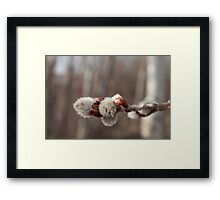 Pussy Willow, A sure sign of Spring Framed Print
