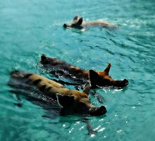 Giant Pigs Swimming In The Azure Waters Of The Exumas, Bahamas, Caribbean by jessonajourney