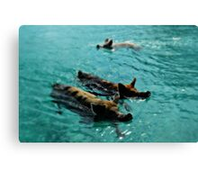 Giant Pigs Swimming In The Azure Waters Of The Exumas, Bahamas, Caribbean Canvas Print