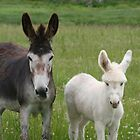 BABY DONKEY by David Lumley