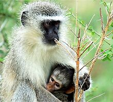 MOTHER LOVE - THE VERVET MONKEY - Cercopithecus aethiops - Blou-aap by Magaret Meintjes