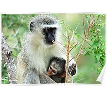 MOTHER LOVE - THE VERVET MONKEY - Cercopithecus aethiops - Blou-aap Poster