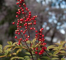 spring bush with red fruits. plant nature photography. by naturematters