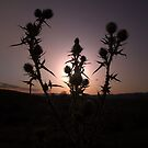 Thistle's At Dusk No.2 by Erin Davis
