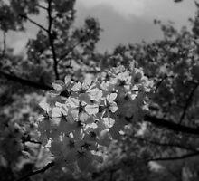Japan Sakura - Somei Yoshino by Quentin Jarc