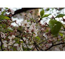 Japan Sakura - Somei Yoshino Photographic Print